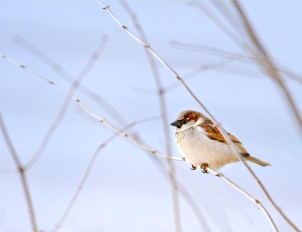 Sparrow_12-1224_2367-2