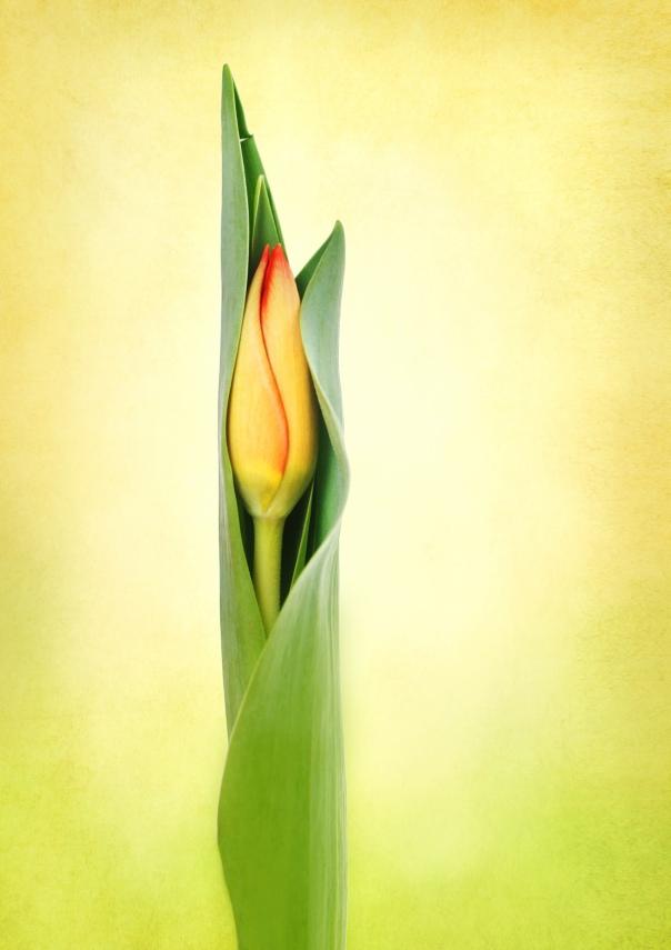 Tulip_15-0305_3226_11x17