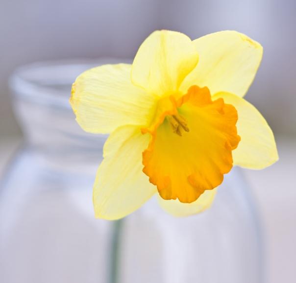 Daffodil_09-0318_5590