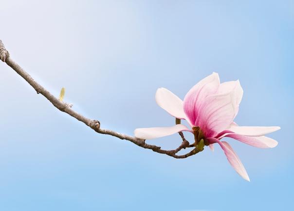 Saucer Magnolia_13-0414_7439-2