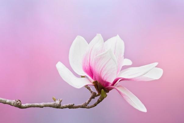 Saucer Magnolia_13-0414_7441-2