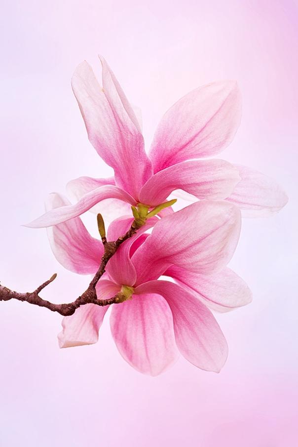Saucer Magnolia_13-0414_7442-2s