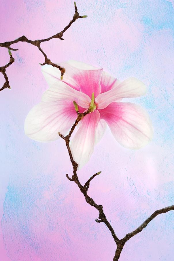 Saucer Magnolias_15-0401_4092-2a