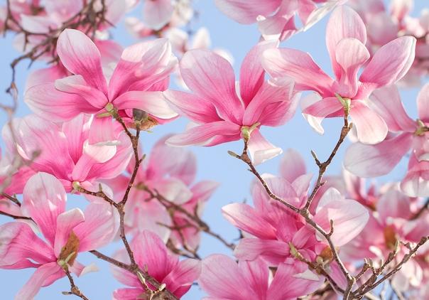 Saucer Magnolias_15-0401_4154