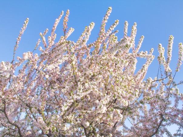 Crabapple Tree_16-0402_0031