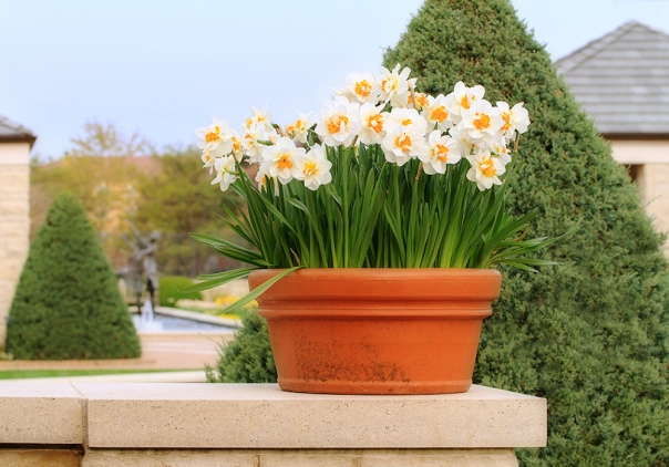 Daffodils_15-0411_4779a