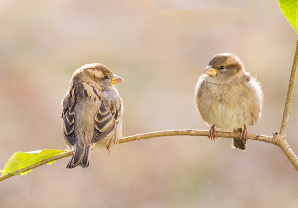 House Sparrow Fledglings_14-1031_1624
