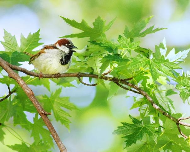 House Sparrow (M)_16-0514_0198